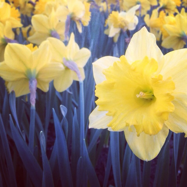 Beautiful daffodils #spring #yellow