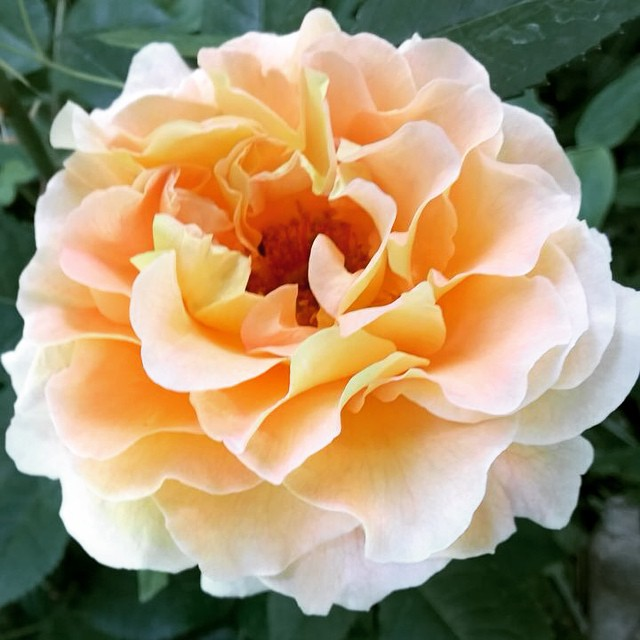 #instapic #mygarden #rose #elegant #davidaustenrose