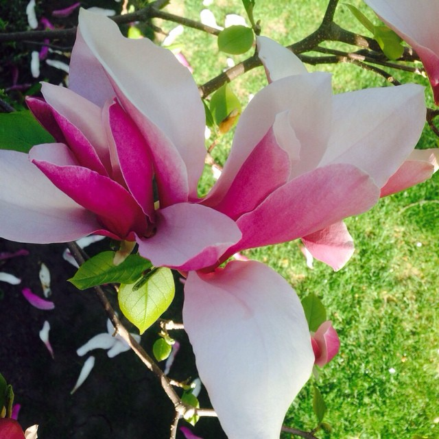 Pic from my garden #beautiful #magnolia #delicate #flowers