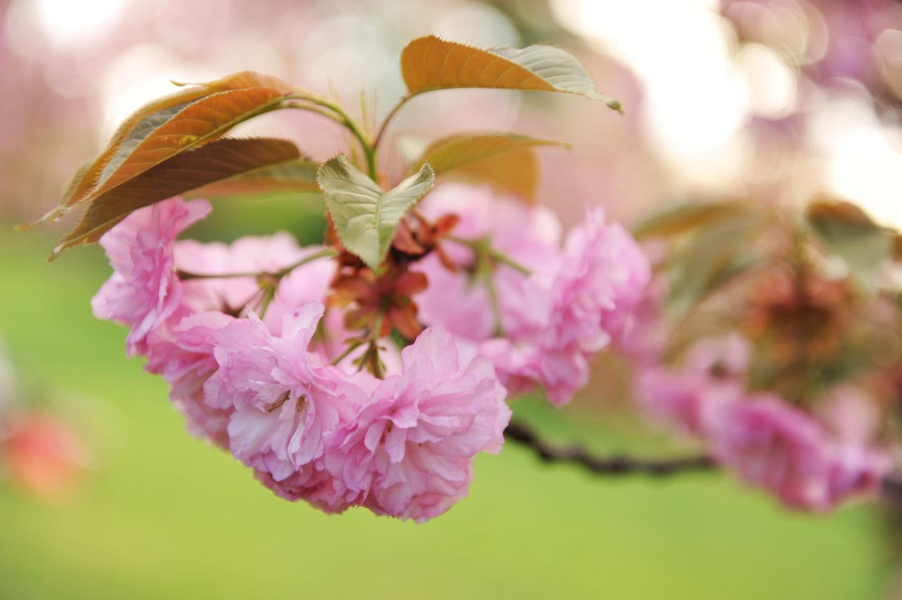 Floare de ciresc japonez - Gradina japoneza, Bucuresti